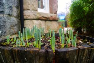 Daffodils at Ardanaiseig