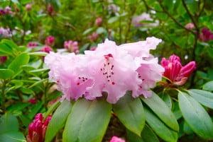 A pink rhodedendron plant in the Ardanaiseig gardens