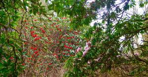 Rhodedendrons in the Ardanaiseig gardens
