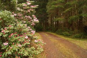 rhodedendrons at Ardanaiseig