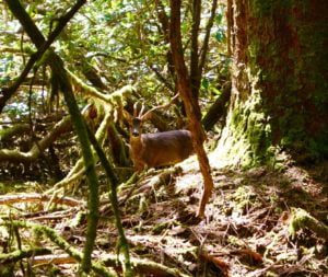 Highlands Wildlife: Roe Buck in the grounds at Ardanaiseig