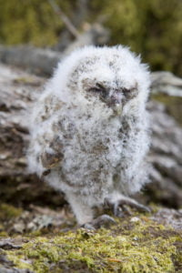 Highlands Wildlife: Baby owl at Ardanaiseig