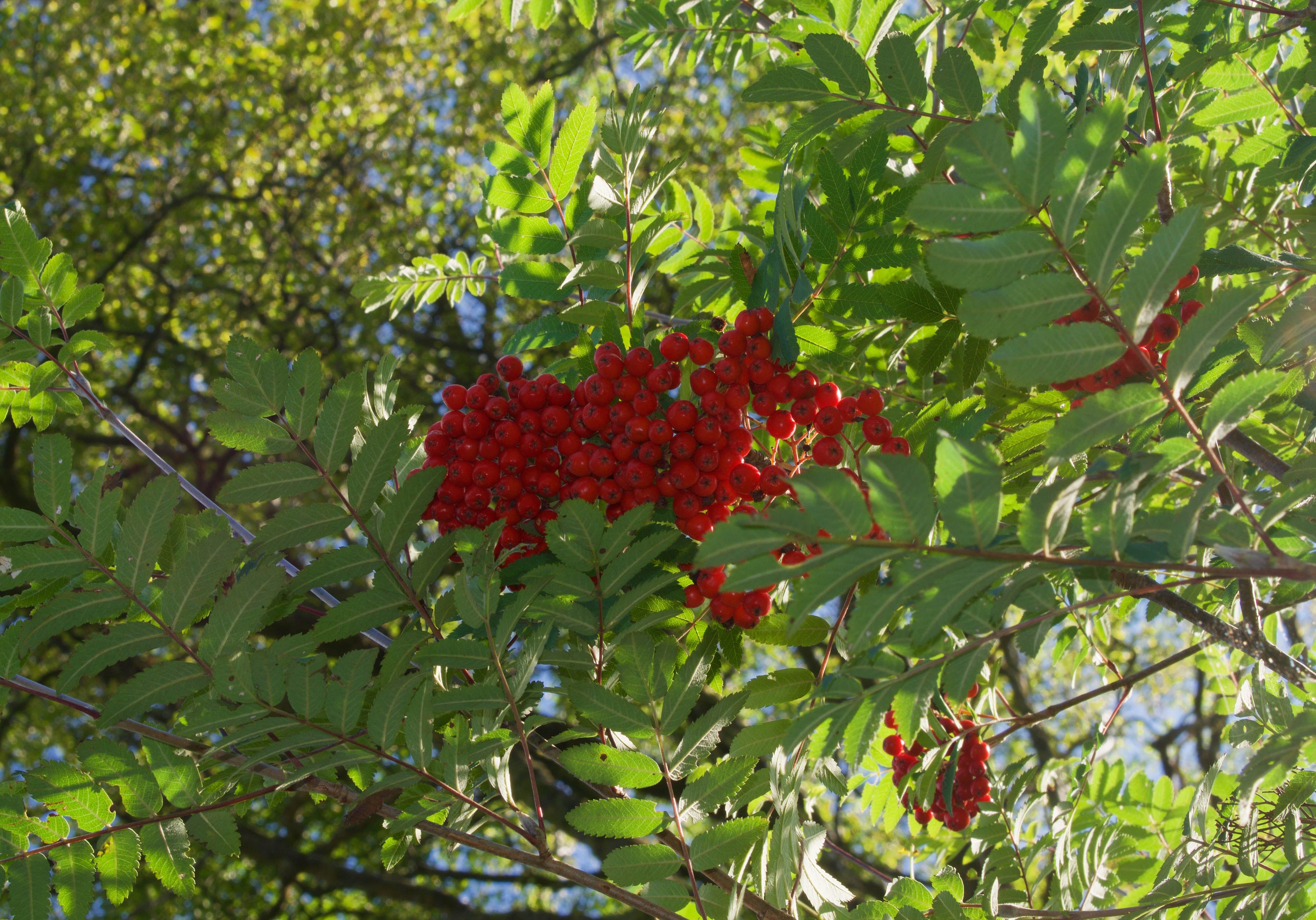 Crab Apple Tree Fruit Recipe